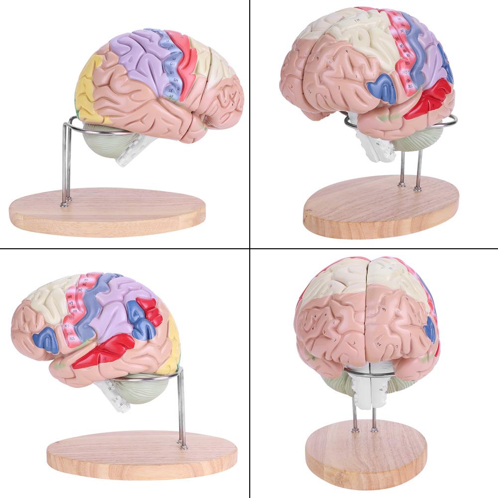 Medical Anatomical Human Brain Anatomy Model Cerebral Cortex Brain ...