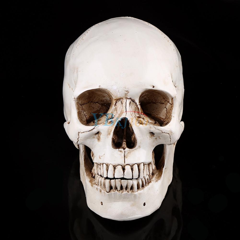 Education Resin Replica11 Real Human Anatomy Skull Skeleton Medical