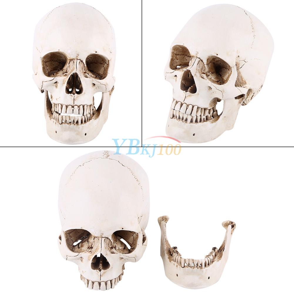 Education Resin Replica1:1 Real Human Anatomy Skull Skeleton Medical ...