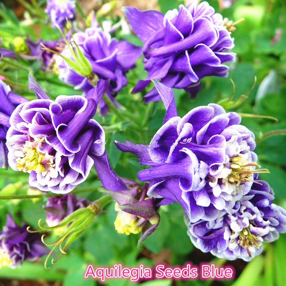 50pc aquilegia vulgaris seeds blue columbine double flower plant 50pc aquilegia vulgaris seeds blue columbine double flower plant home garden izmirmasajfo
