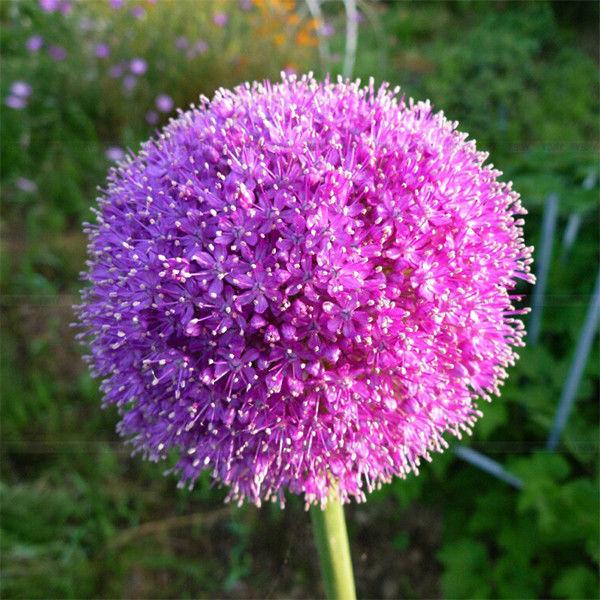 10x Purple Giant Allium Globemaster Allium Giganteum Onion Flower Seeds | eBay