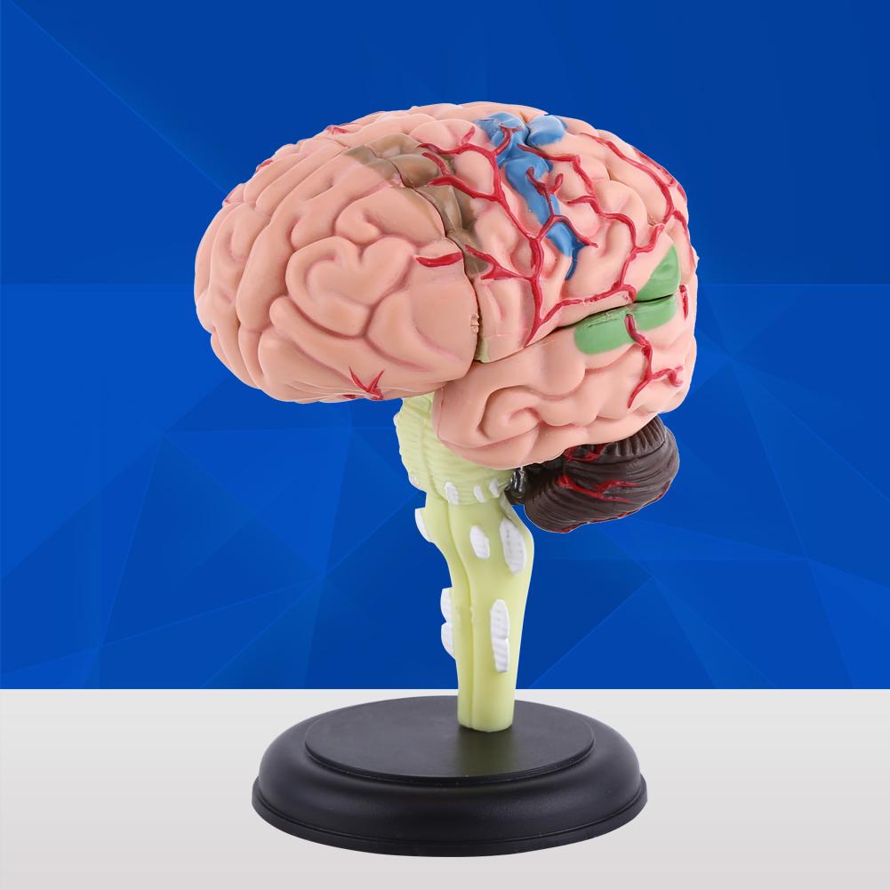 New 4d Disassembled Anatomical Human Brain Model Anatomy Medical