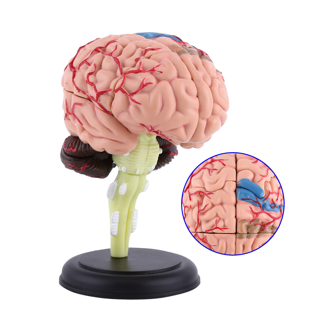 New 4d Disassembled Anatomical Human Brain Model Anatomy Medical