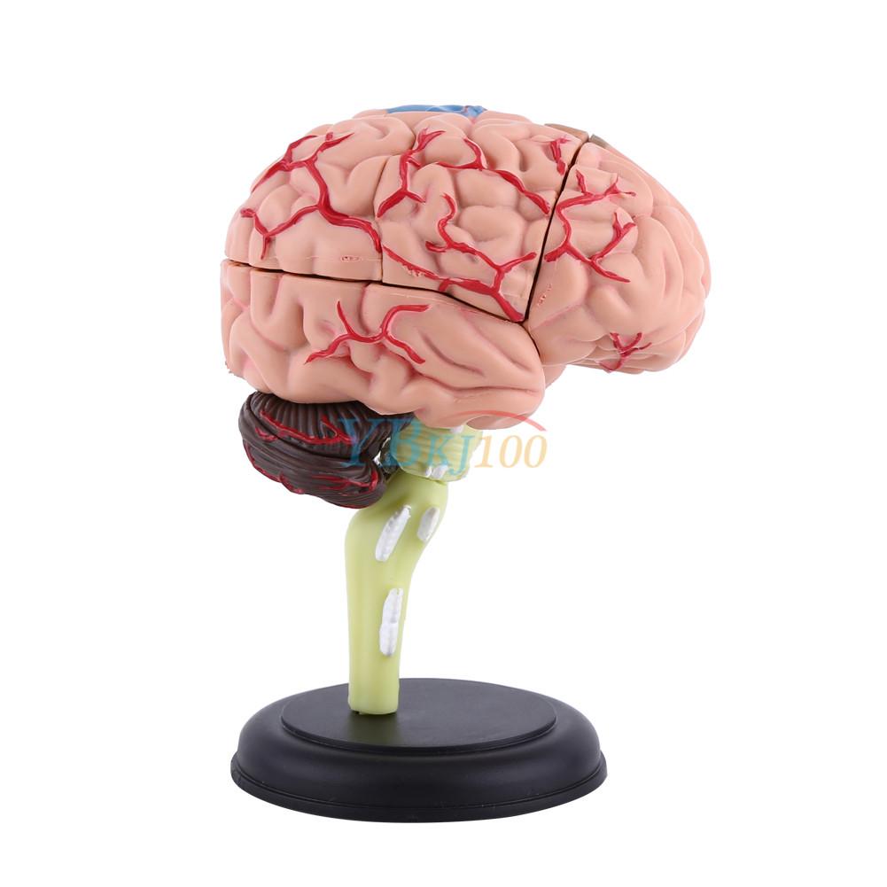 4D Anatomical Models Medical Human Brain Structural Model Teaching ...
