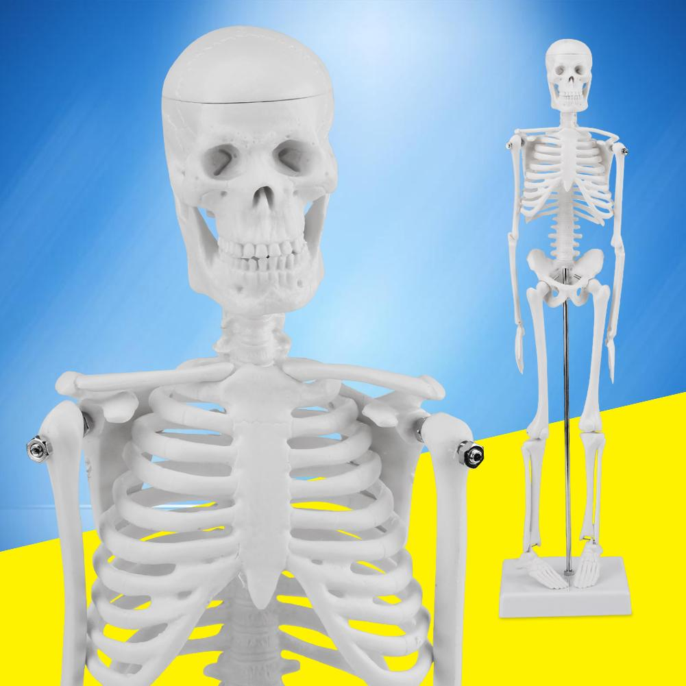 Practical Human Anatomical Anatomy Skeleton Medical Stand Skull