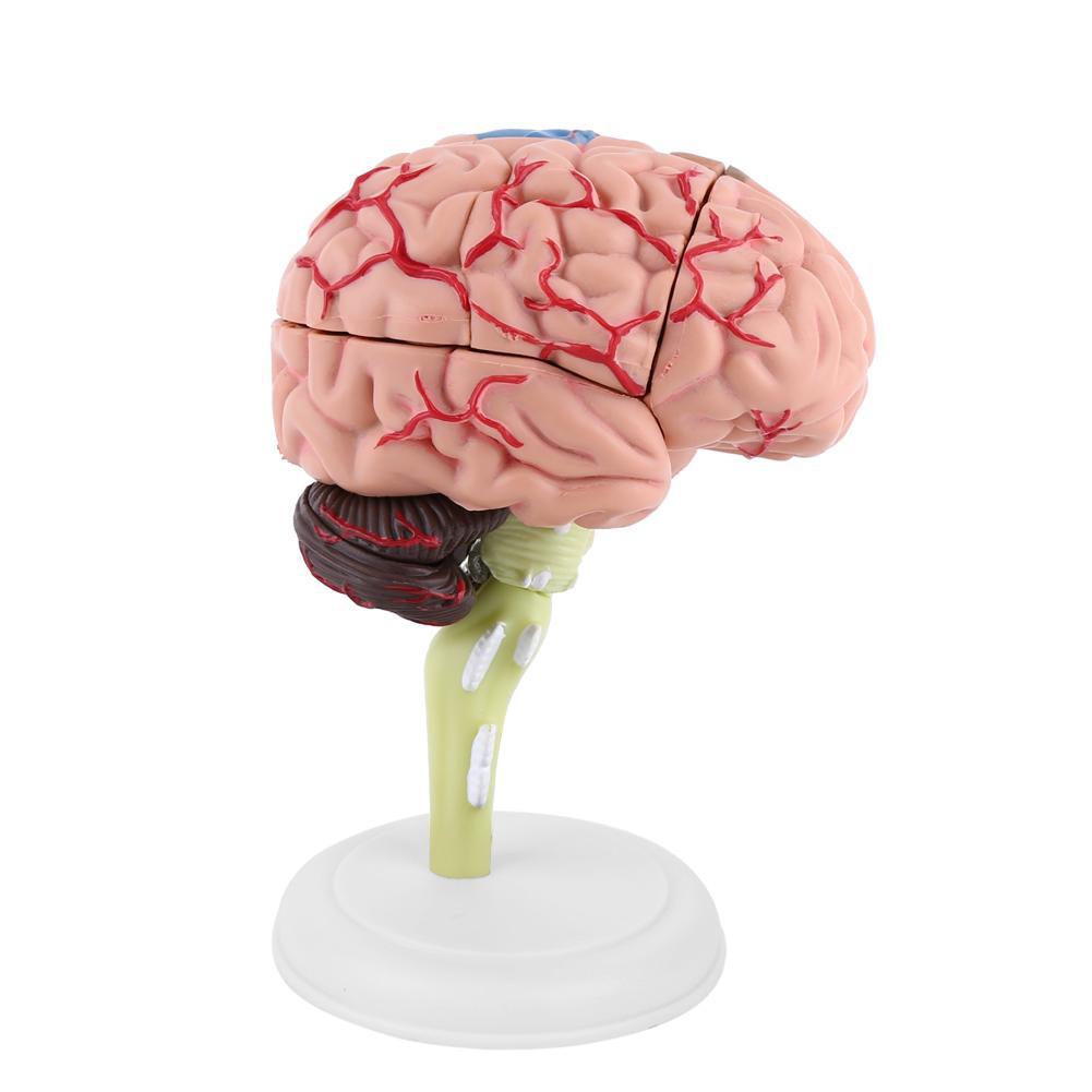 4D Disassembled Anatomical Human Brain Model Anatomy Medical ...