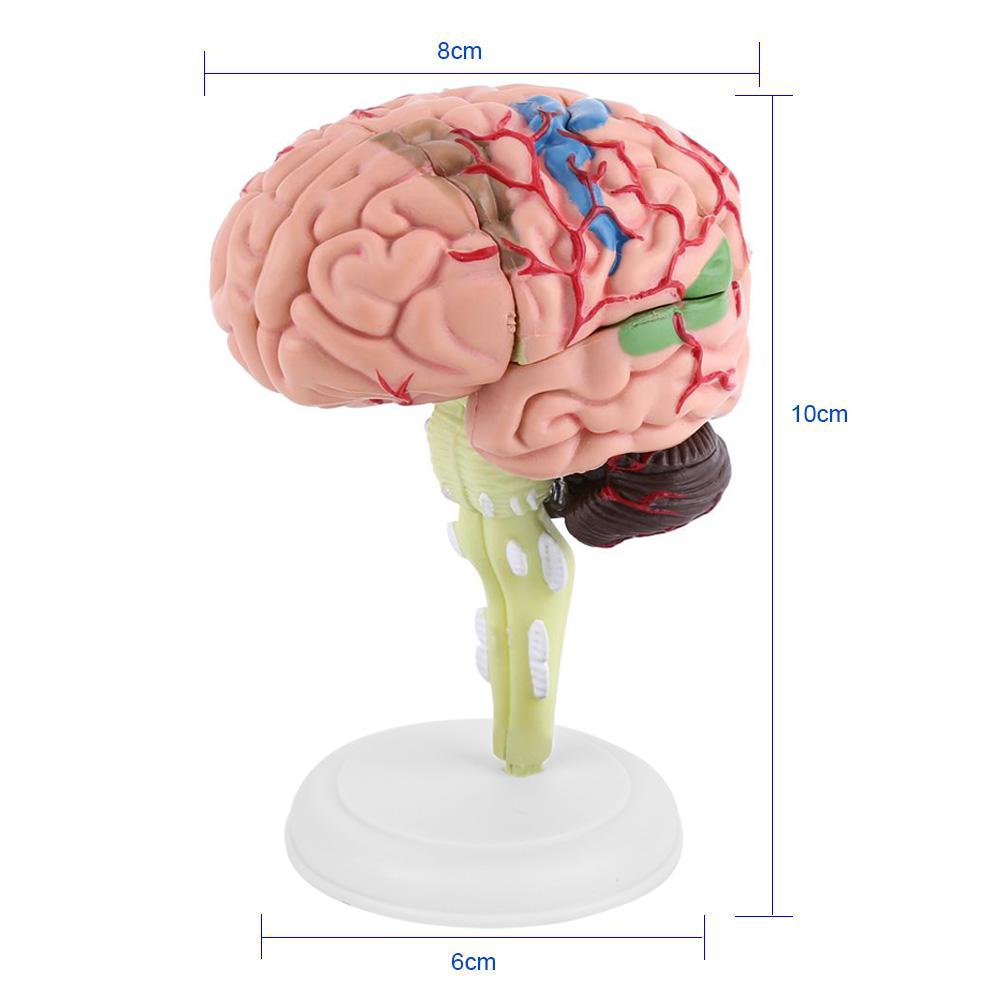 New 4D Disassembled Anatomical Human Brain Model Anatomy Medical ...